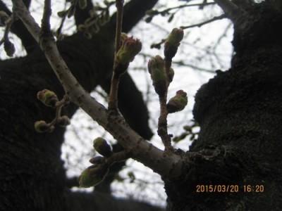 ラパン付近の桜情報
