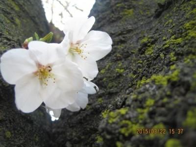 Lapin目の前の桜、開花しました!!