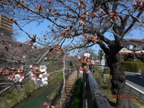 山崎川の桜の様子 3.26その①