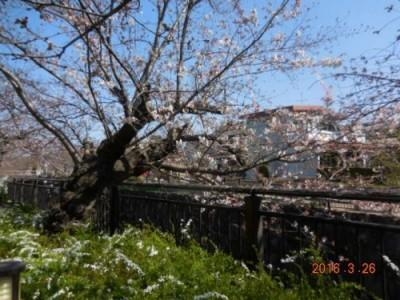 山崎川の桜の様子 3.26その②