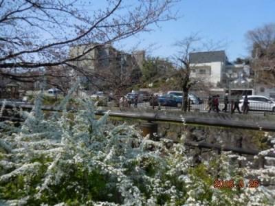 山崎川の桜の様子 3.26その③