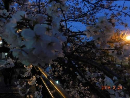 山崎川周辺の桜が見頃を迎えました!!