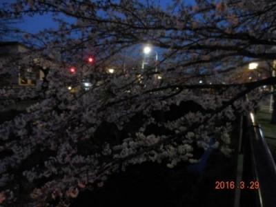 山崎川の桜の様子 3.30