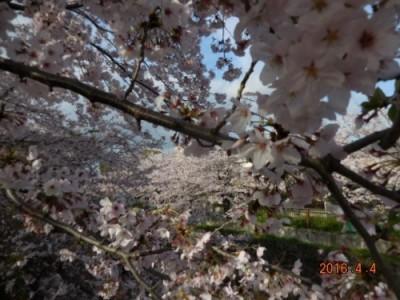 山崎川の桜の様子① 4月4日