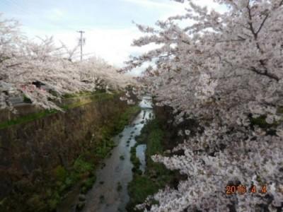 山崎川の桜の様子② 4月4日