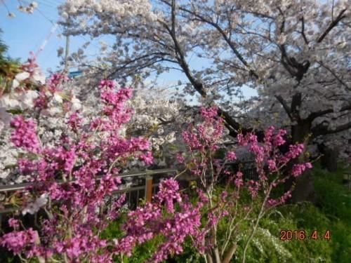 山崎川の桜の様子③ 4月4日