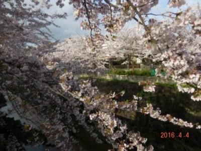 山崎川の桜の様子④ 4月4日