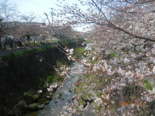 山崎川の桜情報①
