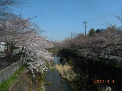 山崎川の桜情報②