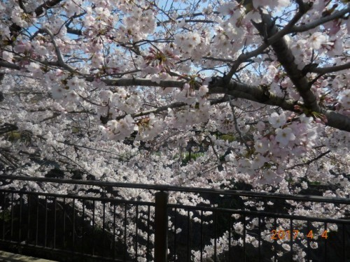 山崎川の桜情報③