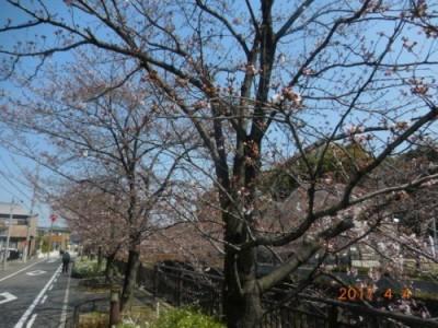 山崎川の桜情報④