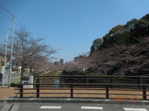 山崎川の桜情報⑤