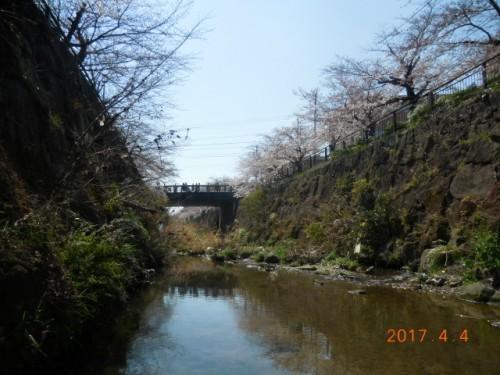 山崎川の桜情報⑥