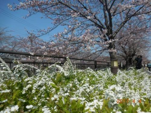 山崎川の桜情報⑦