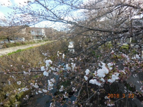 瑞穂区の桜情報④