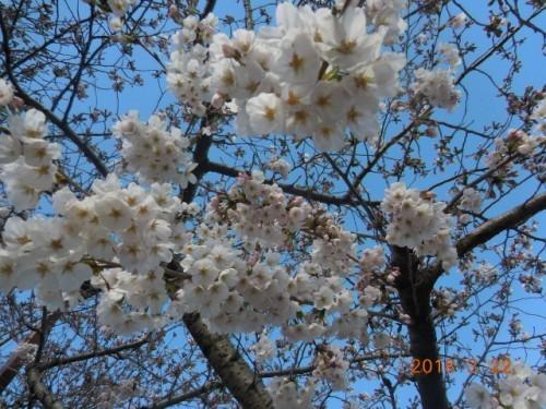 瑞穂区の桜情報⑤