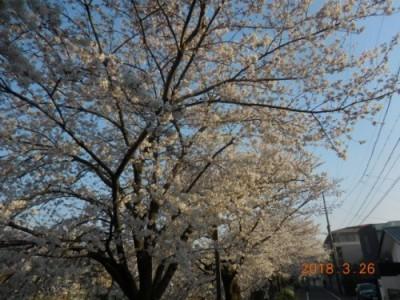 瑞穂区の桜情報⑦