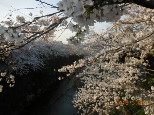 瑞穂区の桜情報⑨
