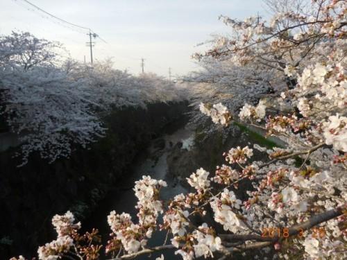瑞穂区の桜情報⑩