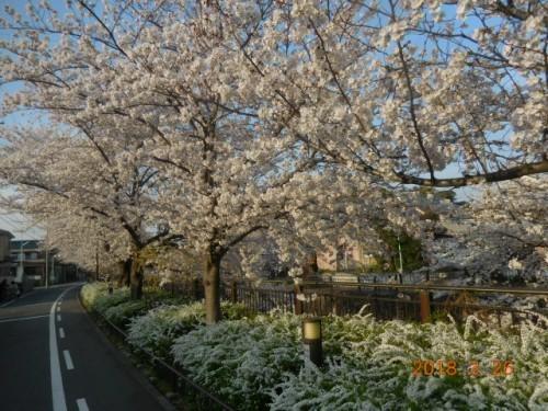 瑞穂区の桜情報⑫