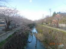 瑞穂区の桜情報②