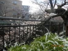 瑞穂区の桜情報⑥