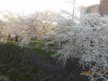 瑞穂区の桜情報⑧