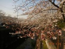 瑞穂区の桜情報⑪